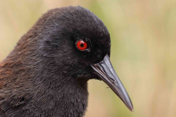 How a Flightless Bird Ended Up on an Island 1,550 Miles Away From Any Mainland