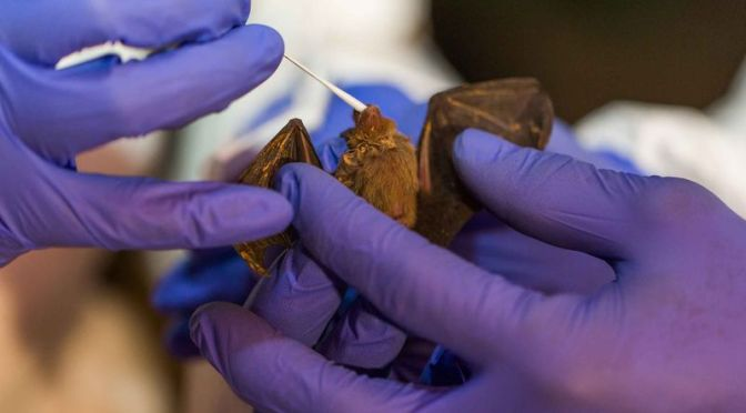 Smithsonian Scientists Discover Six New Coronaviruses in Bats in Myanmar
