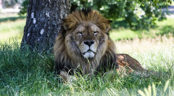 Australian Zookeeper in Critical Condition After Being Attacked by Two Lions