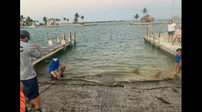 The Biggest Smalltooth Sawfish Ever Measured Washed Ashore in Florida