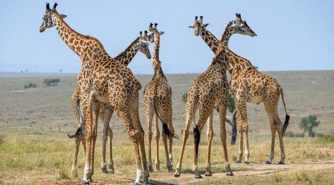 The Cardiovascular Secrets of Giraffes